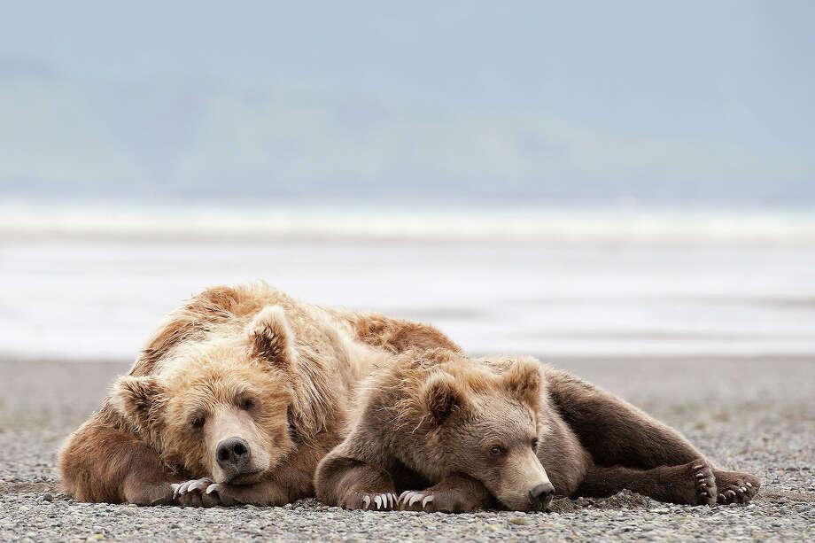 Grizzly bear mother napping with cub, Katmai National Park, Alaska. Photo: Daisy Gilardini, Getty Images / (c) Daisy Gilardini