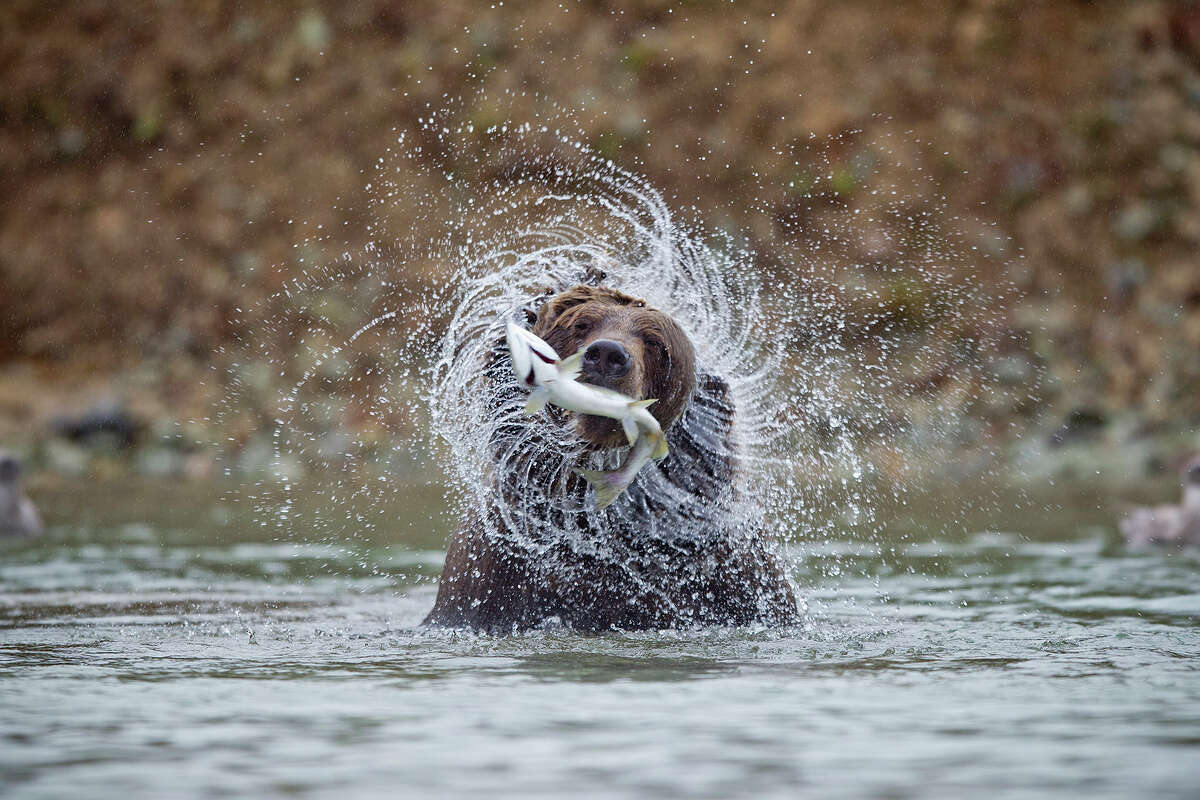 Animal: Coastal Brown Bear Park:Katmai National Park, Alaska