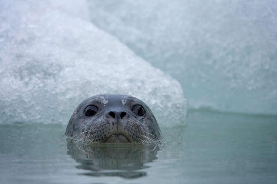 Harbor Seal, Glacier Bay National Park, Alaska. Photo: Paul Souders, Getty Images / (c) Paul Souders