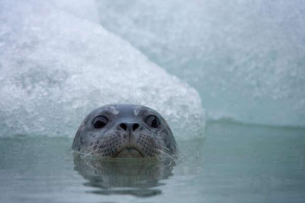 Harbor Seal, Glacier Bay National Park, Alaska.
