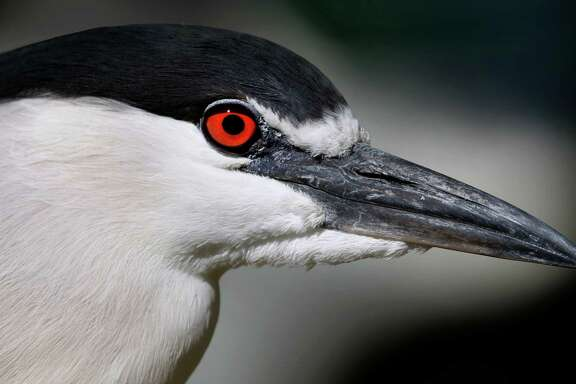 A black-crowned night heron is perched on a railing at Lake Merritt in Oakland, Calif. on Thursday, April 16, 2015. The Golden Gate Audubon Society is launching a campaign to raise awareness to the heron colony that has been nesting in the trees above a US Postal Service parking lot in downtown Oakland.