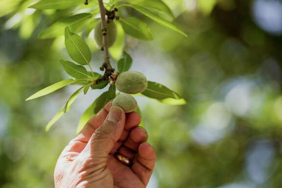 The poor almond has become a victim of drought hysteria in California.