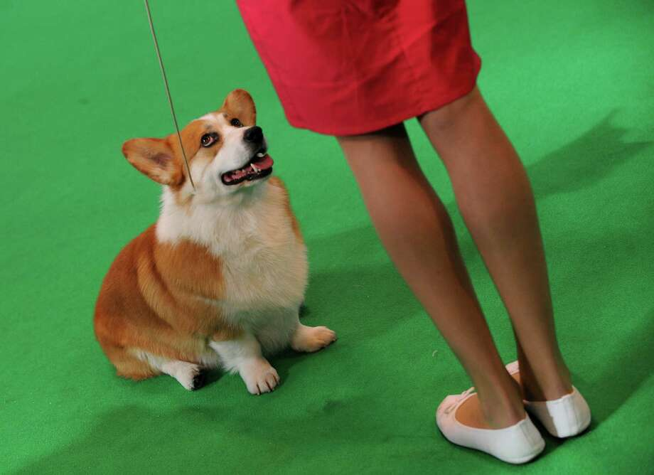 FILE - In this Friday, March 6, 2015 file photo, a Welsh corgi competes in the ring with its owner on the second day of Crufts dog show at the National Exhibition Centre in Birmingham, England. In a study released on Thursday, April 16, 2015, scientists found that just by gazing at their owners, dogs can trigger a response in their masters' brains that helps them bond. And owners can do a similar trick in return. This two-way street may have begun during dog domestication because it helped the two species connect, the Japanese researchers suggest. (AP Photo/Rui Vieira) ORG XMIT: NY815 Photo: Rui Vieira / AP