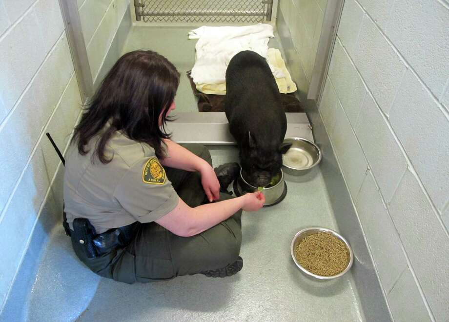 Head Bridgeport animal control Officer Gina Gambino feeds Lolita, a potbelly pig that was found Saturday in the town's northend on April 16. Photo: Contributed Photo / New Canaan News