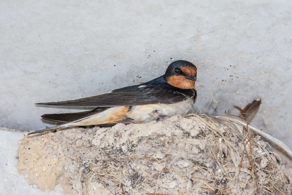 Barn swallows build nests under area bridges, overpasses and eaves. The nests are made of tiny mud pellets mixed with grass.
