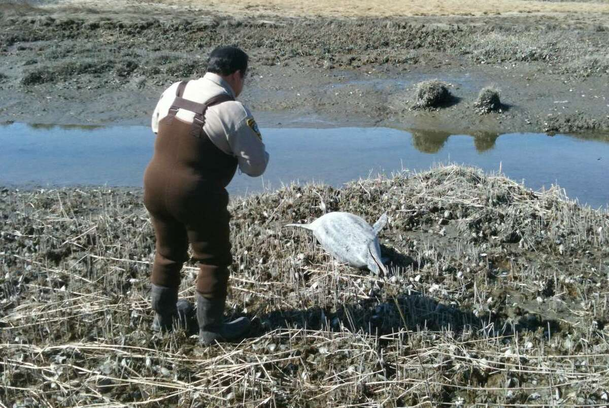 Animal control officer Rick Duddie stands over a dead dolphin in Village Creek in Norwalk, Conn. on Monday, March 8, 2010.
