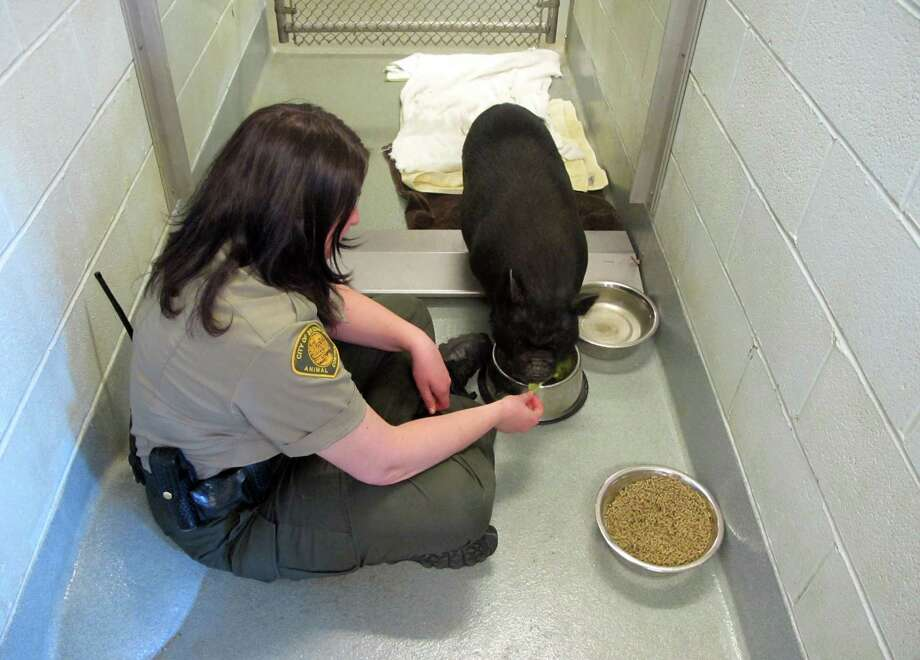Bridgeport's head animal control Officer Gina Gambino feeds Lolita, a potbelly pig that was found  in the north end of the city on Apr. 16. Photo: Contributed Photo, Fausto Giovanny Pinto / Connecticut Post
