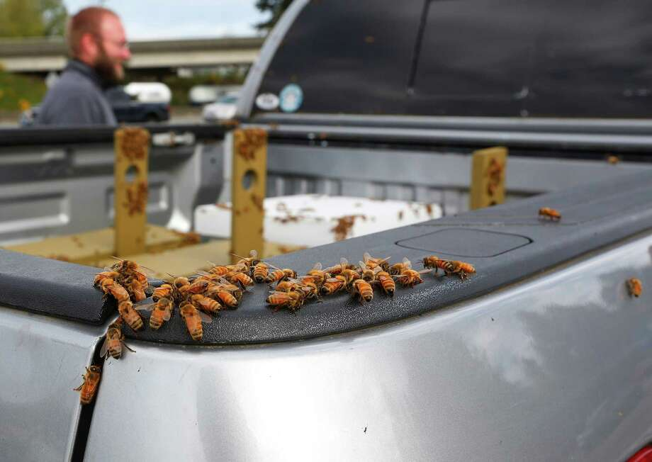 Bees swarm onto a beekeepers truck along northbound Interstate 5 after beehives spilled off of a semitruck on Friday, April 17, 2015 north of Seattle. The truck had just merged onto Interstate 5 around 3:30 a.m. Friday when it tipped on its side, dumping its load of 448 hives.  The driver was not hurt, but the bees became more active as the sun rose and the weather warmed.  Photo: Mark Mulligan, Associated Press / The Herald