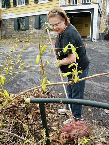 Kim Spiak of the Albany Best Western cleans out under a forsythia bush during a Hospitality Gives Back: Clean-Up Day at Historic Cherry Hill Friday April 17, 2015 in Albany, NY.  (John Carl D'Annibale / Times Union) Photo: John Carl D'Annibale / 00031488A
