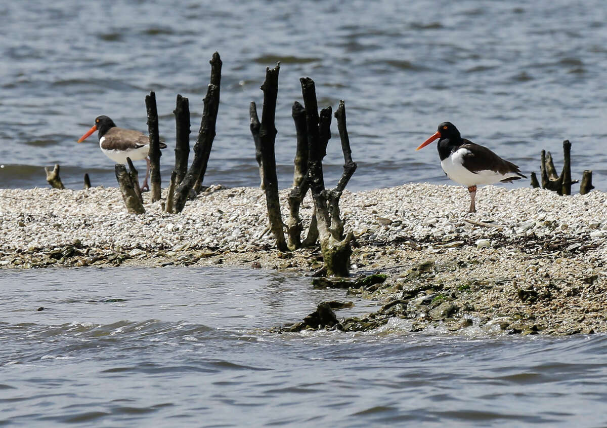 Two Oystercatchers on what remains of Cat Island's rookery and mangrove trees in Barataria Bay in Plaquemines Parish, La.,March 31, 2015 five years after the BP Deepwater Horizion oil spill. Cat island has eroded greatly since the Deepwater Horizon oil spill Five years ago. (Billy Smith II / Houston Chronicle)