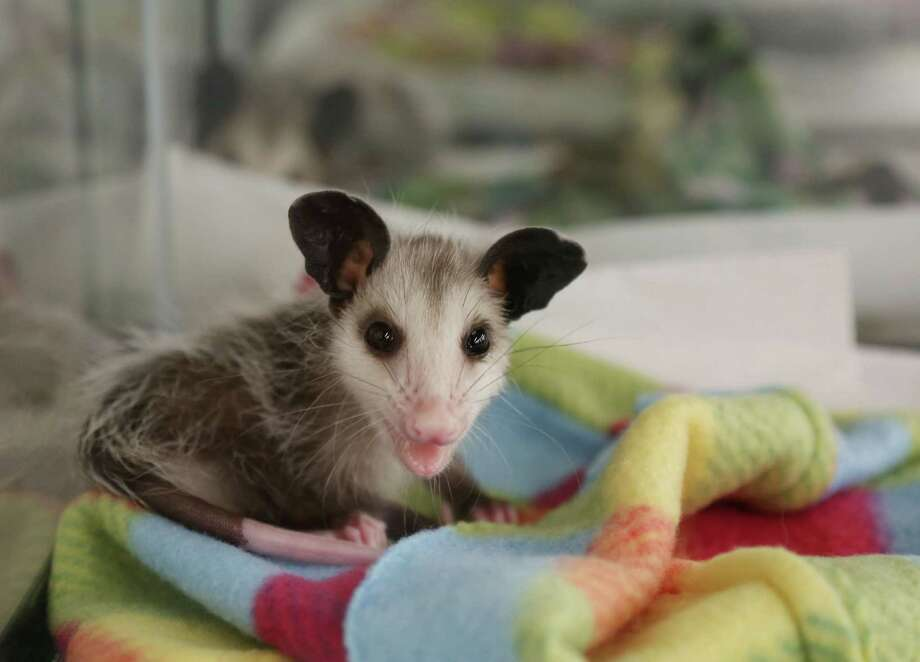 A baby opossum stirs from a nap at the Wildlife Center of Texas  Sunday, April 19, 2015, in Houston. Photo: Jon Shapley, Houston Chronicle / © 2015 Houston Chronicle