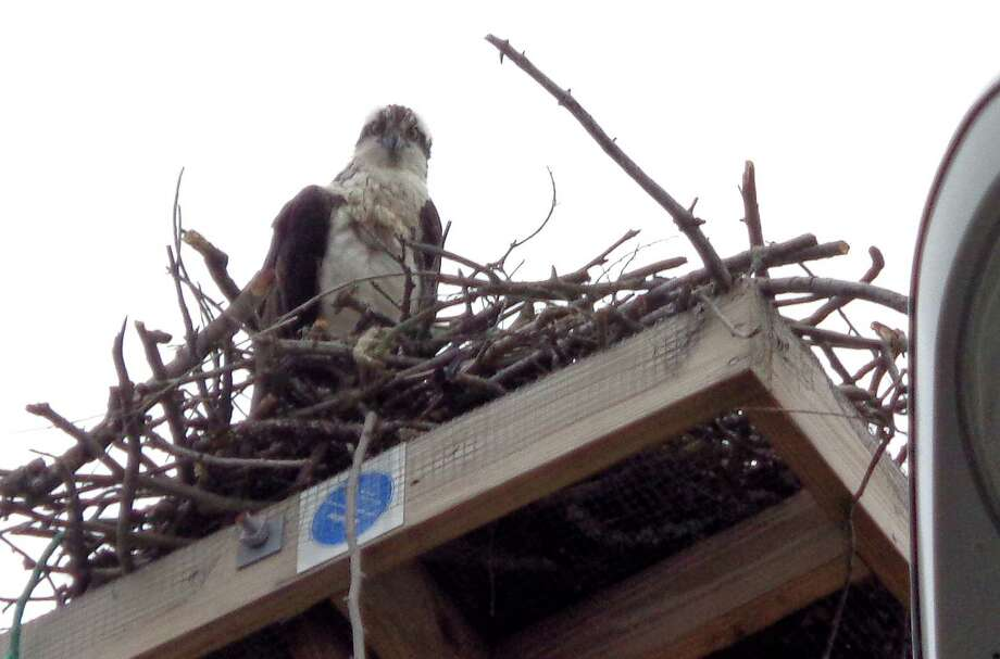 One of two ospreys to return to a nesting platform this spring in the Fresh Market parking lot. Photo: Meg Barone / Westport News