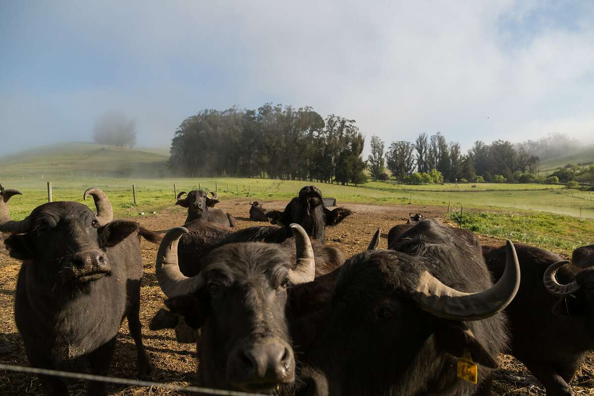 Water buffalo, whose milk is used to make Italian style mozzarella di bufala, at the Ramini facility in Tomales, Calif., Friday, April 17, 2015. The buffalo have rock star names like Pat Benetar, Van Morrison, and Chris Isaac.