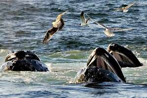 Agency moves to take most humpback whales off endangered list - Photo
