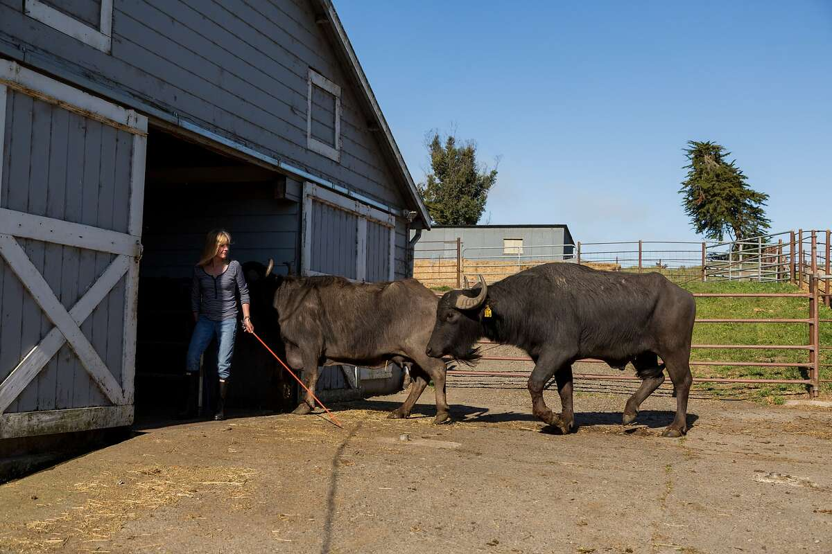 Audrey Ramini leads Helen and Van, who is outing Helen and won't leave her side, into the milking barn at the Ramini facility in Tomales, Calif., Friday, April 17, 2015. The buffalo have rock star names like Pat Benetar, Van Morrison, and Chris Isaac.