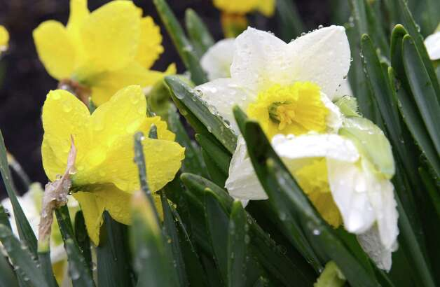 Rain gathers on a group of daffodils on Kenwood Ave. Monday afternoon, April 20, 2015, in Delmar, N.Y. (Will Waldron / Times Union) Photo: WW