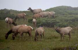 POINT REYES STATION, CA - APRIL 19: Tule Elk graze on grass in a field at Point Reyes National Seashore Elk Preserve on April 19, 2015 in Point Reyes Station, California. As California enters its fourth year of severe drought, the dry conditions are being blamed for the deaths of nearly 250 Tule Elk in the past two years at the 2,600-acre Point Reyes National Seashore Elk Preserve. The heard has dropped from 540 to 286 this past year. The National Park Service is considering bringing in water as ponds and grasses in the preserve dry up. (Photo by Justin Sullivan/Getty Images)
