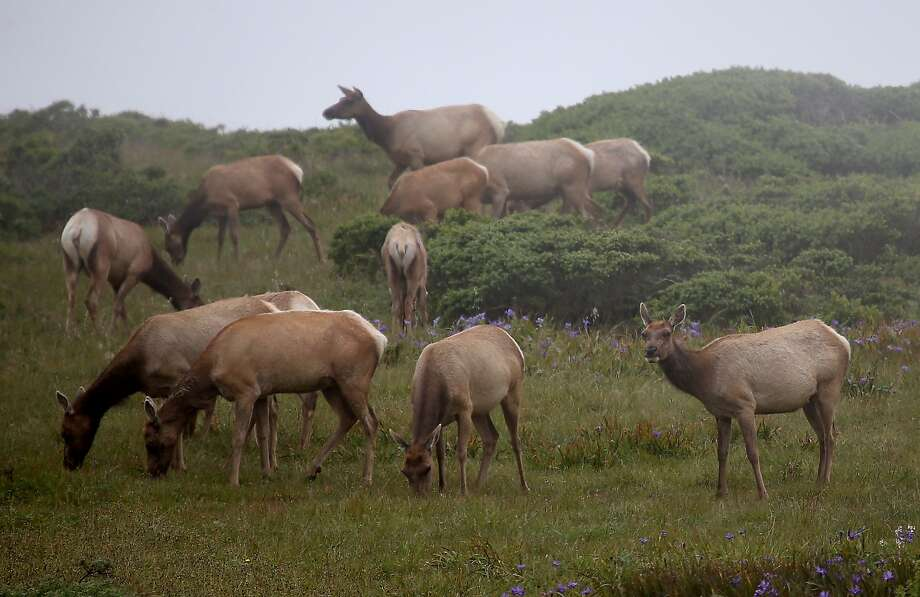 Tule elk graze at Point Reyes National Seashore Elk Preserve. The herd has dropped from 540 to 286 this year. Photo: Justin Sullivan, Getty Images