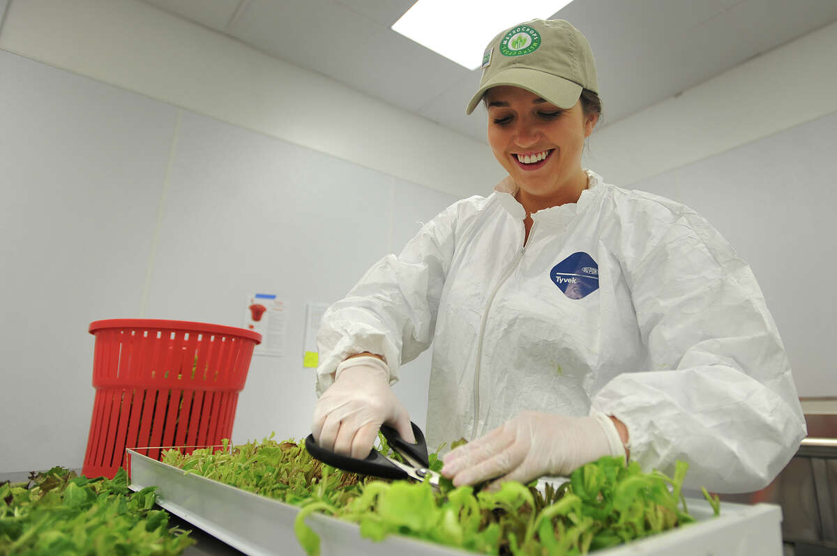 Marketing Assistant Laura Sterling harvests a tray of mesclun mix leaf lettuces at Metrocrops in Bridgeport, Conn. on Tuesday, April 21, 2015. Each tray of seeds creates three separate crops before the tray is sanitized and reseeded.