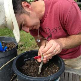 Scott Heath of Tilted Shed Cider grafting a cider apple tree at his Sebastopol orchard.