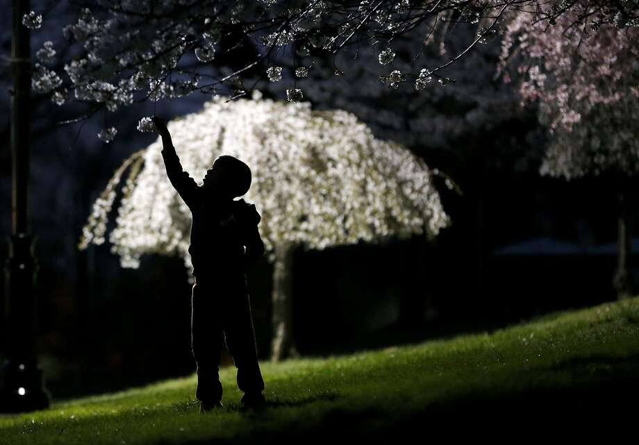 A young boy reaches up for a cherry blossom while a smaller tree is lit up by a a street lamp at Branch Brook Park, Tuesday, April 21, 2015, in Newark, N.J. Photo: Julio Cortez, Associated Press