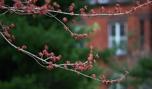 Buds were evident on a tree on Earth Day Wednesday morning April 22, 2015 in Washington Park in Albany, N.Y.      (Skip Dickstein/Times Union) Photo: SKIP DICKSTEIN