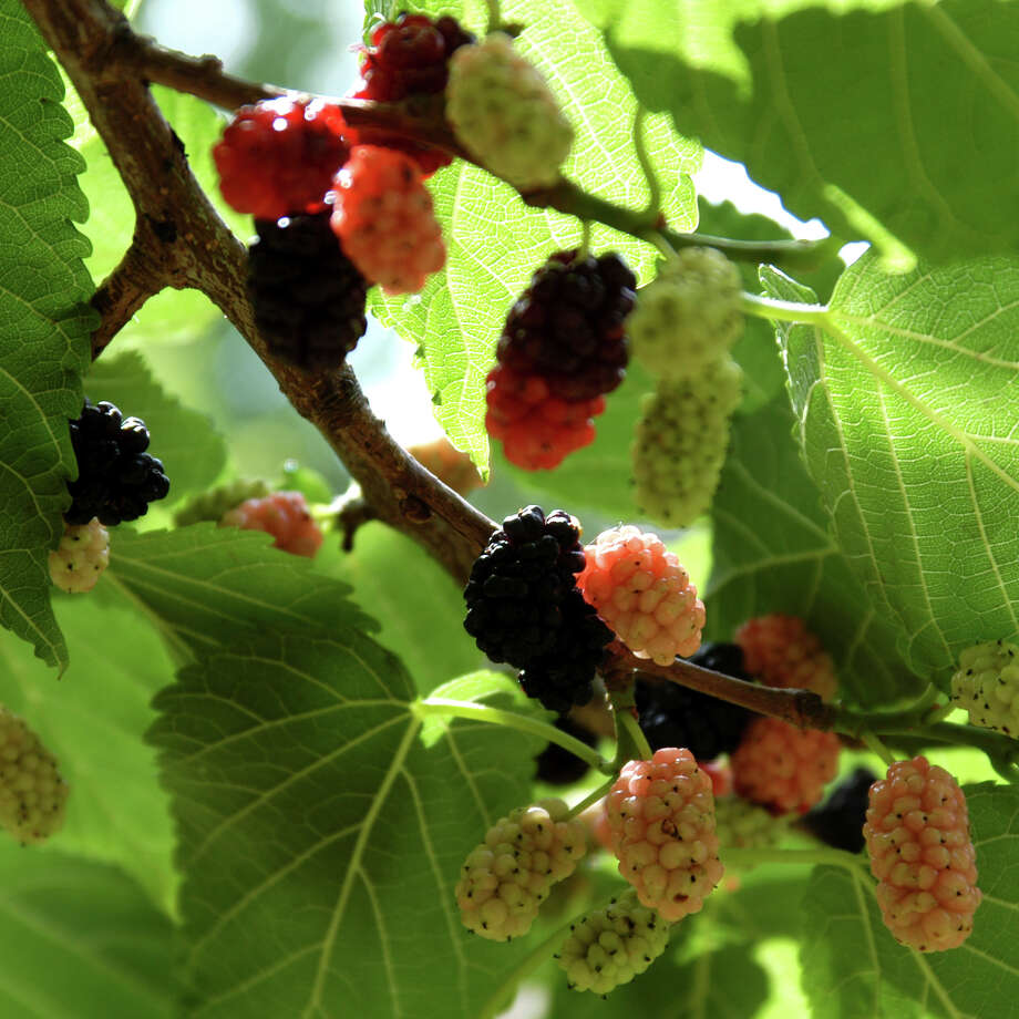 Mulberry trees cause a mess when the fruit drops. Photo: Courtesy Photo