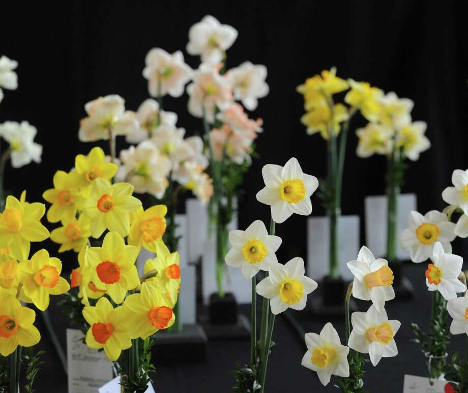 The Fifty-Seventh annual Connecticut Daffodil Show sponsored by the Greenwich Daffodil Society and the American Daffodil Society at Christ Church Greenwich, Conn., Wednesday, April 22, 2015. Thursday is the final day of the show with the public viewing period taking place between 10 a.m. to 4:30 p.m. Photo: Bob Luckey / Greenwich Time