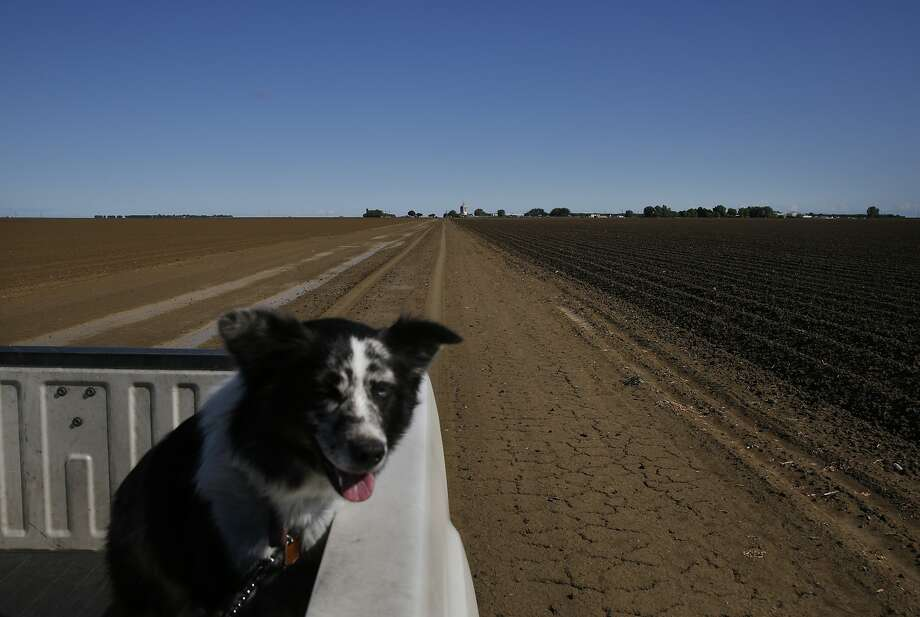 Prima rides in the back of Dan Errotabere's truck as he drives past fallowed fields April 9, 2015 in the Westlands Water District in Five Points, Calif. The Errotaberes fallowed 1,200 acres of land this year.  Westlands is the largest agricultural water district in the country, providing water to 700 farms in over 1,000 square miles of land in the Central Valley. Photo: Leah Millis, The Chronicle