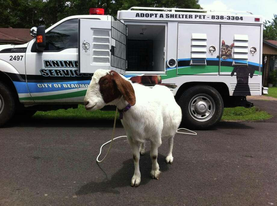 Beaumont Animal Services is looking for the owner of this Boer goat found earlier today in the 9400 block of McClean.