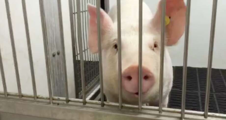 Harry the pig became the first animal to have a successful implant of a laboratory-built lung.