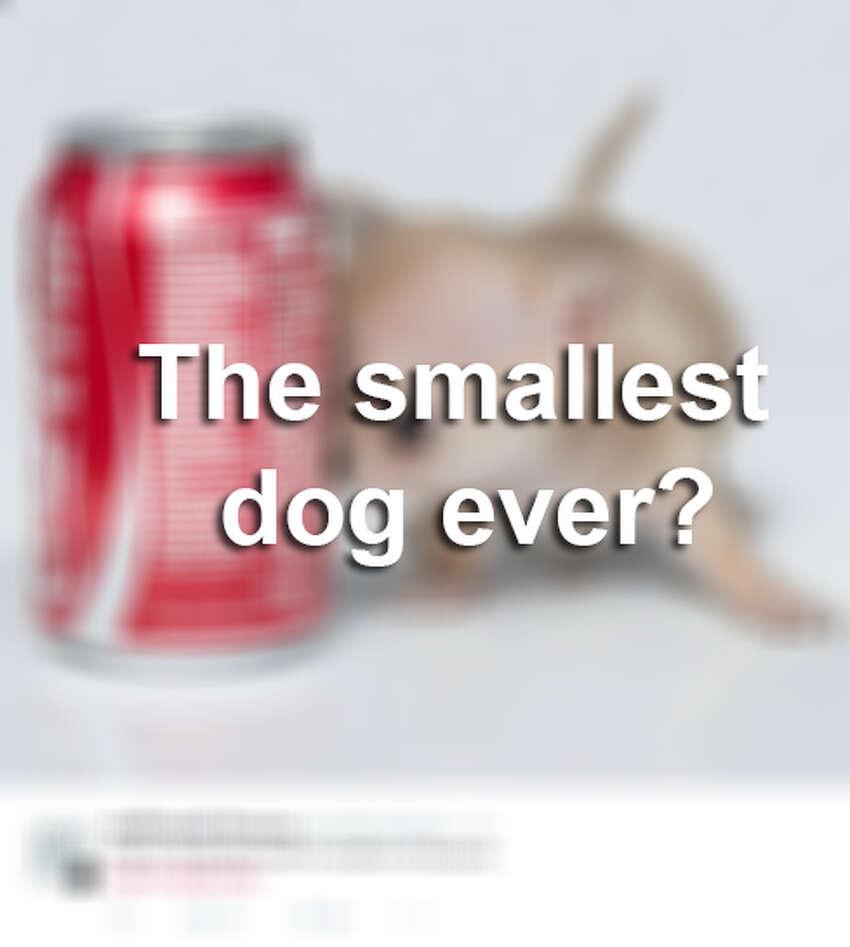 Toudi the smallest dog ever