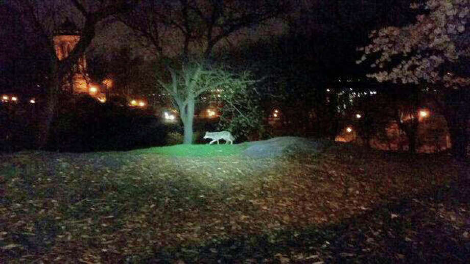 In this photo taken the morning of April 22, 2015, and released by the 24th Precinct of the New York City Police Dept., on Thursday April 23, 2015, a coyote walks in New York City's Riverside Park, on the Upper West Side of Manhattan. While the animals have been spotted periodically in New York since the 1990s and have taken up residence in some Bronx parks, a string of sightings and captures in Manhattan and other unexpected locales in recent months has drawn new attention to them. And experts expect to see more of the adaptable animals in the nation's biggest city. (New York City Police Dept. via AP)  ORG XMIT: NYRD101 / New York City Police Dept.
