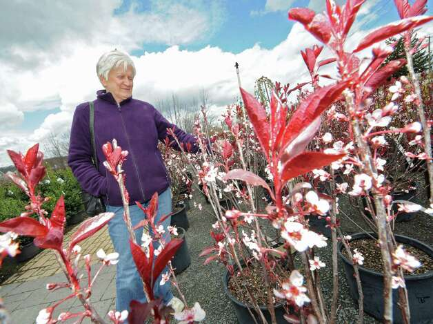 Gail Rosetti of Clifton Park looks at a Purple Leaf Plum tree at Troy's Landscape Supply on Thursday, April 23, 2015 in Cohoes, N.Y. (Lori Van Buren / Times Union) Photo: Lori Van Buren