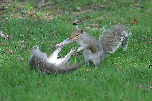 A couple squirrels play in the grass on a yard Thursday, April 23, 2015 in Albany, N.Y. (Lori Van Buren / Times Union) Photo: Lori Van Buren
