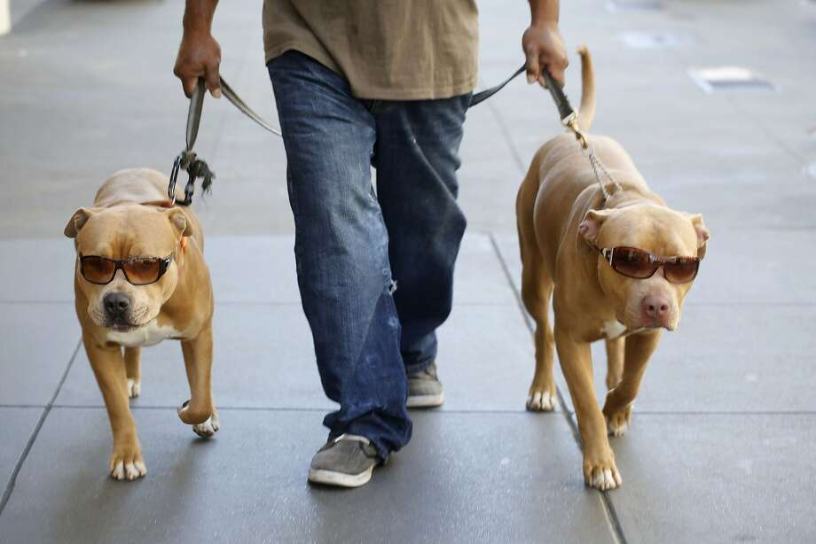 Having trained them to wear sunglasses since they were puppies, Jason Saola walks his dogs Orange Juice and Psycho up Powell Street in San Francisco, Calif. Photo: Mike Kepka, The Chronicle