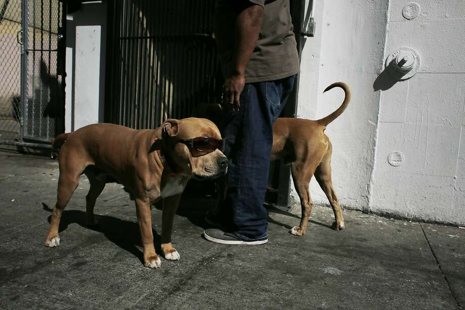 Jason Saola gets ready to walk his sunglass-wearing dogs Psycho and Orange Juice to Union Square in San Francisco, Calif. Photo: Mike Kepka, The Chronicle