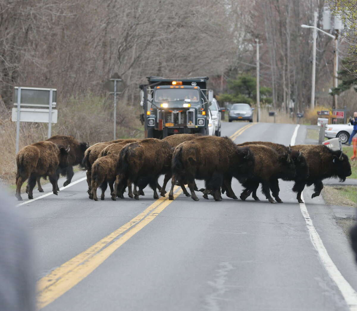 A herd of buffalo cross a road, Friday, April 24, 2015, in Bethlehem, N.Y. About 15 of the animals got loose Thursday from a farm in the Rensselaer County town of Schodack, on the river's east bank a few miles southeast of Albany. (AP Photo/Mike Groll)