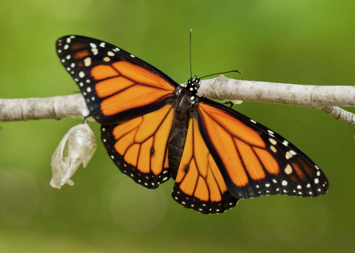 With monarch numbers in decline, the state has approved $300,000 for research on their decline. One of our readers says she already has the answer.