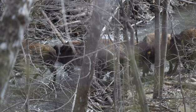 A herd of buffalo runs in a creek off of Willowbrook Avenue in Bethlehem on Friday. (Skip Dickstein / Times Union)
