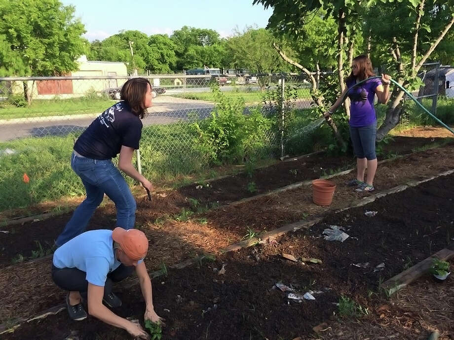 Three University of Texas at San Antonio students helped plant crops at the Madonna Neighborhood Center community garden. Photo: /UTSA