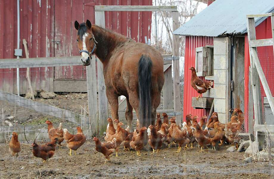 A horse is seen hanging out with chickens at Eight Mile Creek Farm on Friday, April 3, 2015 in Duanesburg, N.Y.  Eight Mile Creek Farm is an organic farm. (Lori Van Buren / Times Union) Photo: Lori Van Buren / 10031269A