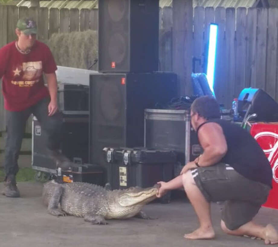 An alligator wrangler in an ironic t-shirt is bitten by an alligator at the  Olde Town Spring Texas Crawfish & Music Festival. Photo: Mona Villegas On YouTube