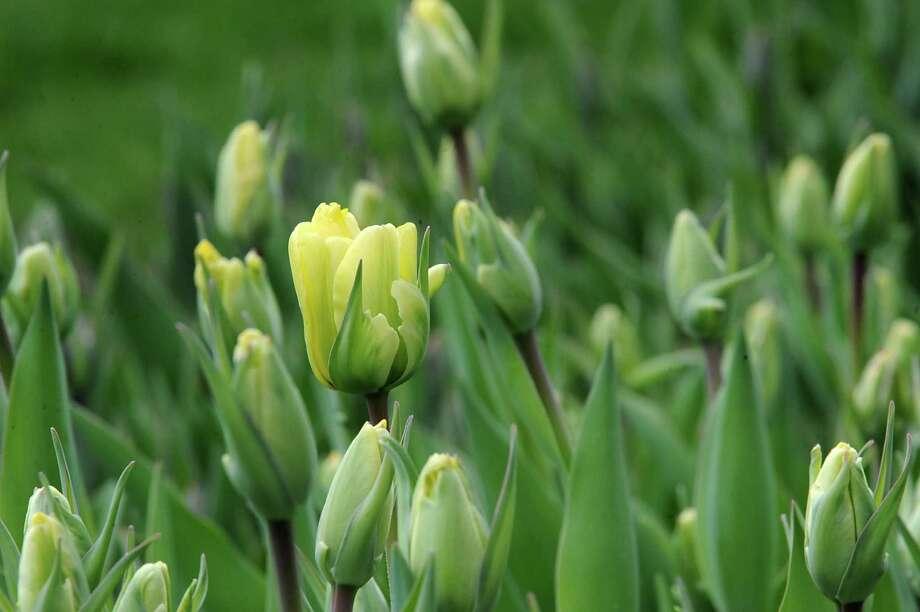 A few tulips begin to open in Washington Park on Monday, April 27, 2015 in Albany, N.Y.  (Lori Van Buren / Times Union) Photo: Lori Van Buren