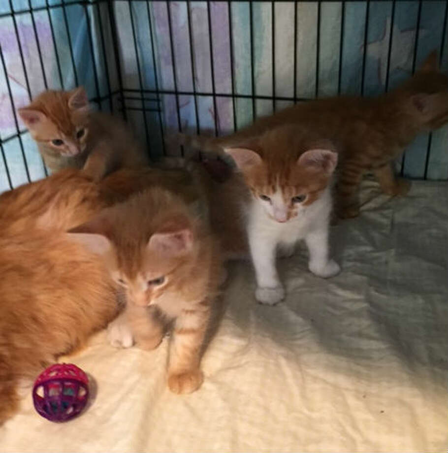 Stowaway cat Frederica and her four kittens arrived in Houston April 2, 2015, and are being cared for by Friends of League City Animal Shelter until they are ready for adoption. Photo: Courtesy Of Friends Of League City Animal Shelter