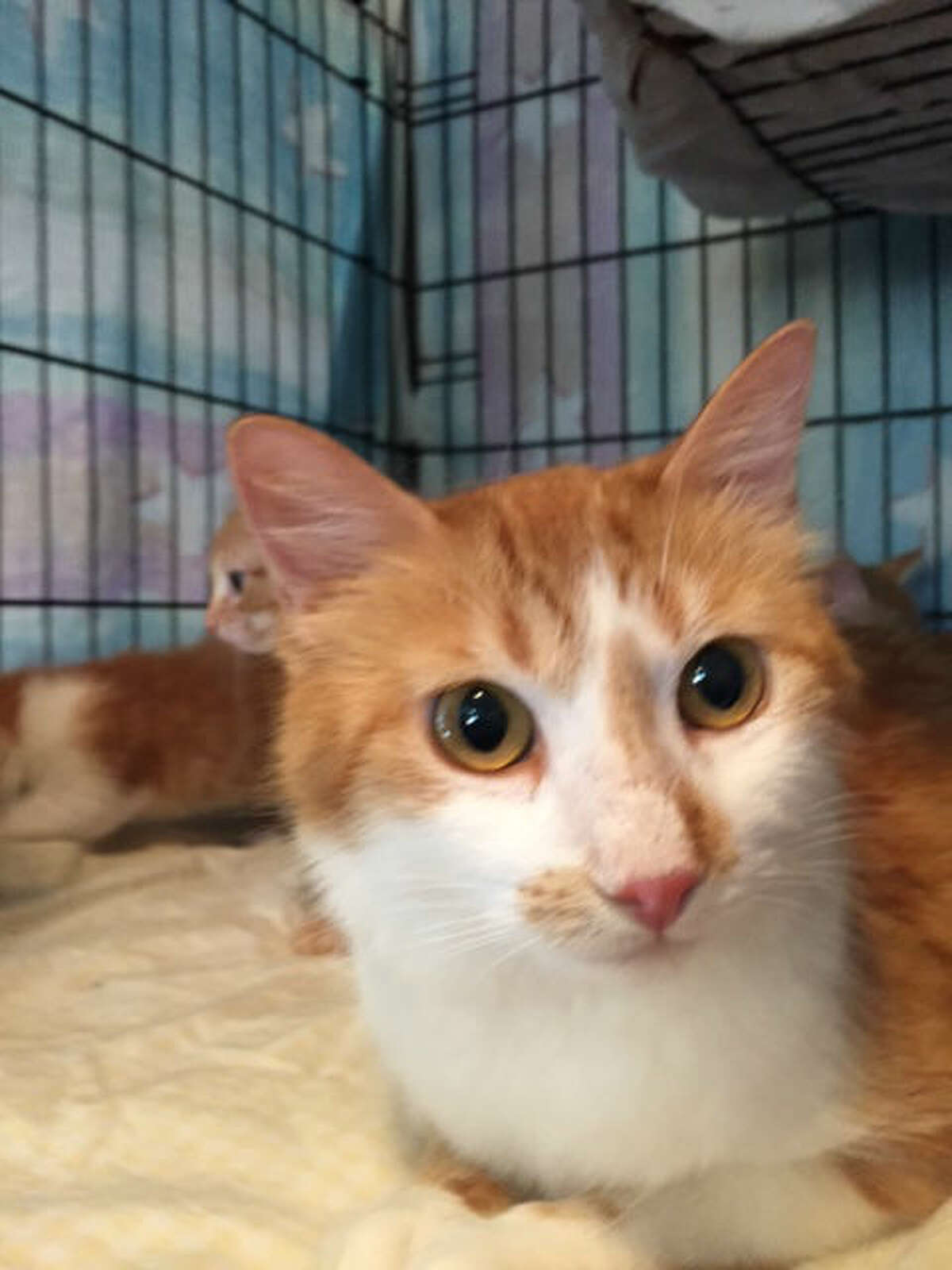 Stowaway cat Frederica and her four kittens arrived in Houston April 2, 2015, and are being cared for by Friends of League City Animal Shelter until they are ready for adoption.
