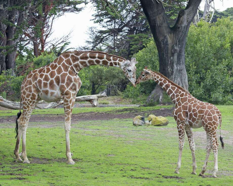Moms can visit the San Francisco Zoo free on Mother's Day to see mama giraffe Barbro and her calf Sarah. Photo: Marianne Hale / ONLINE_YES