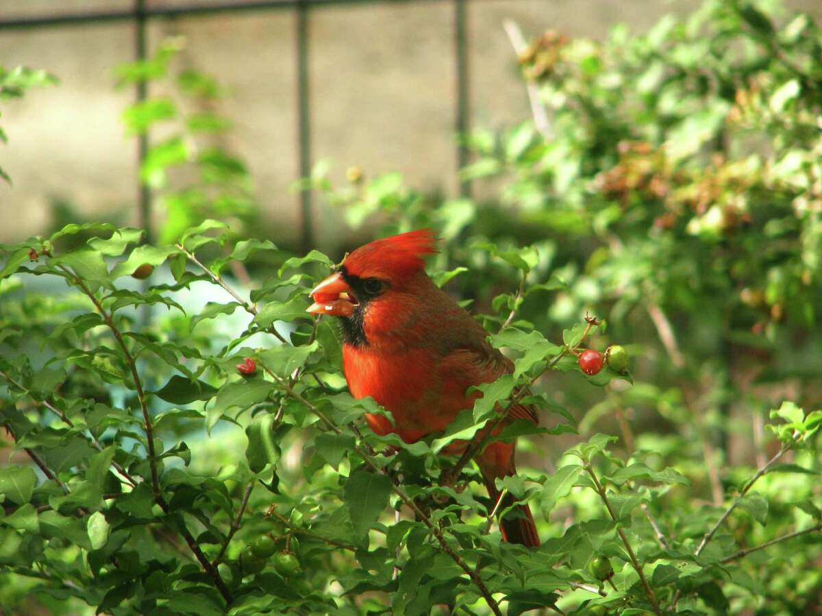 A cardinal chows down on fruit from a Dwarf Barbados cherry bush (Malphigia glabra).