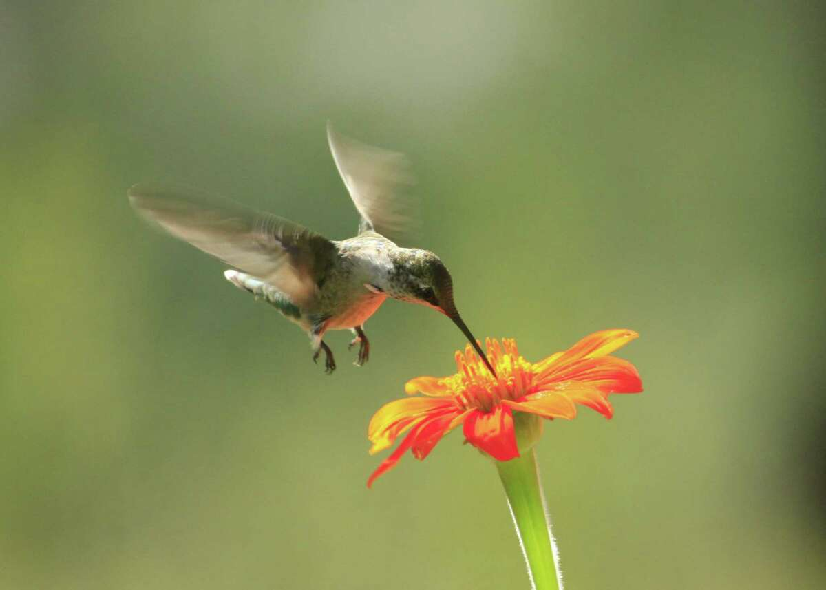 Zinnias are a twofer plant, attracting hummingbirds to the blooms and other birds to the seeds that follow the flowers.