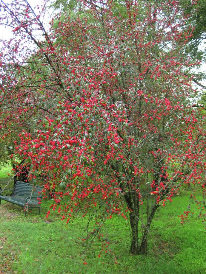 The red berries of Possumhaw holly (Ilex decidua) often remain through winter into spring, providing four-season interest to the garden as well as food the birds. Photo: Kathleen Scott /For The Express-News